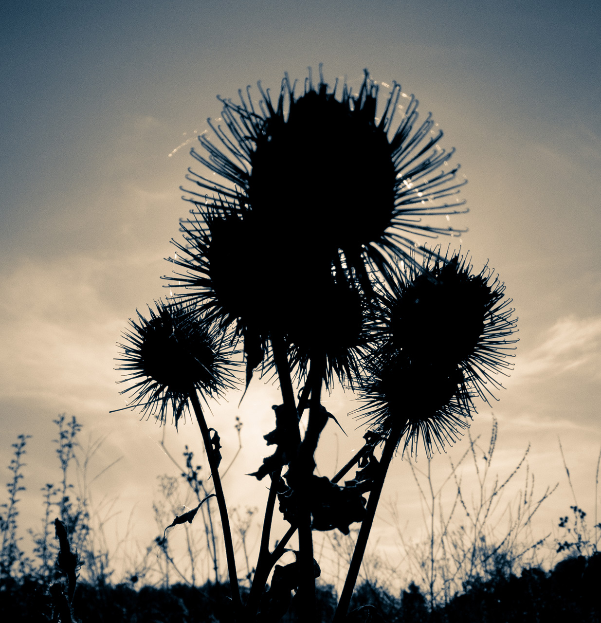 Photo: Cirsium